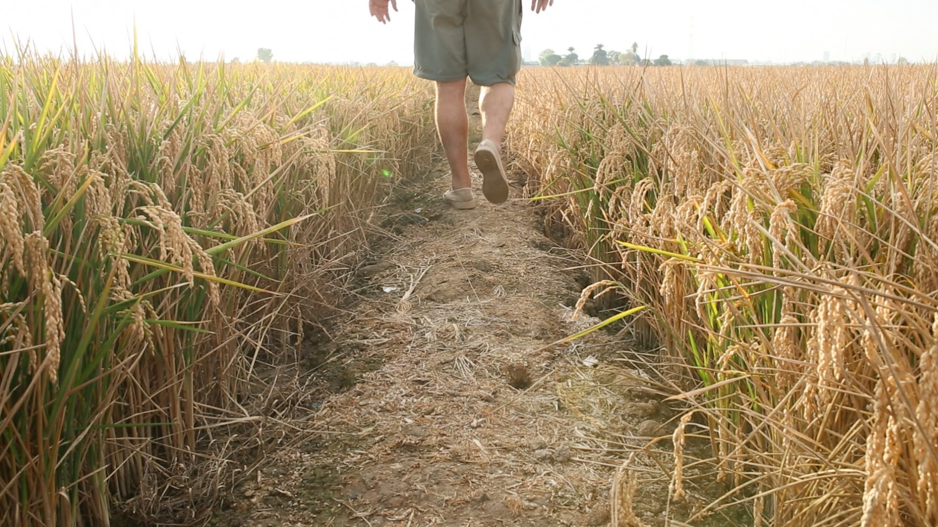 Man walking through rice fields
